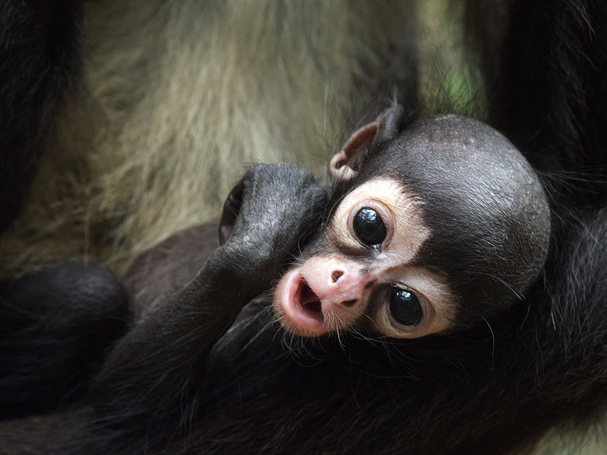 Baby monkey. This image is from Return of the Spider Monkeys. [Photo of the day - 五月 2017]