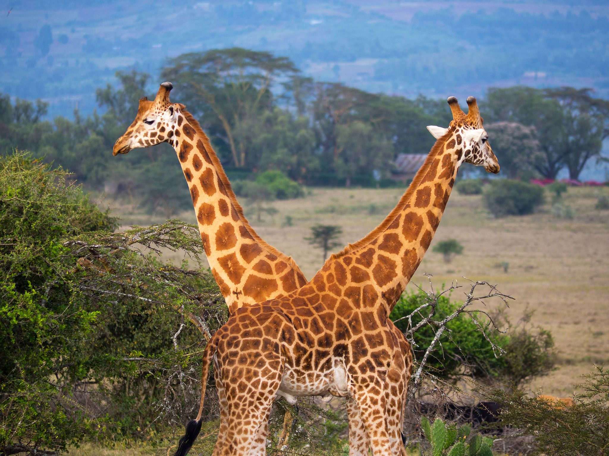 Kenya: Giraffe are mistakenly viewed as peaceful animals. The Iniosante crew watched two male... [Photo of the day - May 2017]