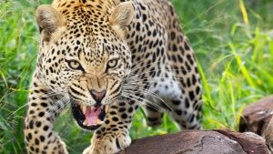 South Africa: Leopards have... [Photo of the day - 22 می 2017]