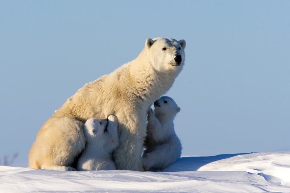 When the Siberian winter ends the first polar bear mothers (with their young) appear from their ... [Dagens billede - februar 2012]