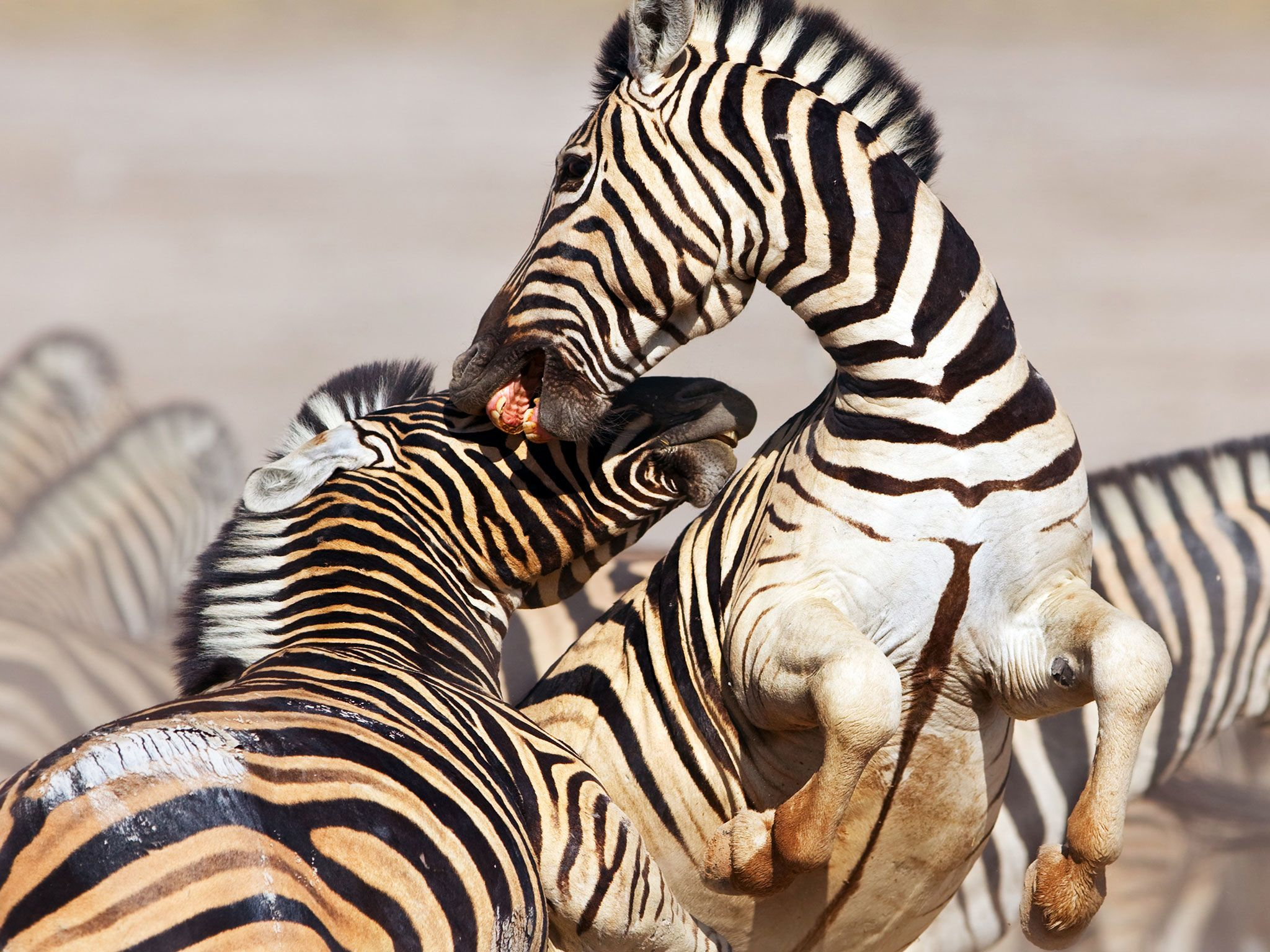Zebras fighting. This image is from Animal Fight Club. [Photo of the day - 五月 2017]