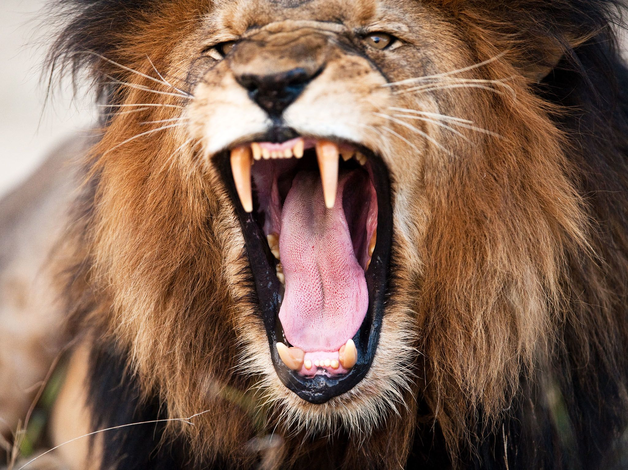 South Africa: An adult Lion's roar can be heard up to 5 miles (8 kilometres) away. This image is... [Photo of the day - May 2017]