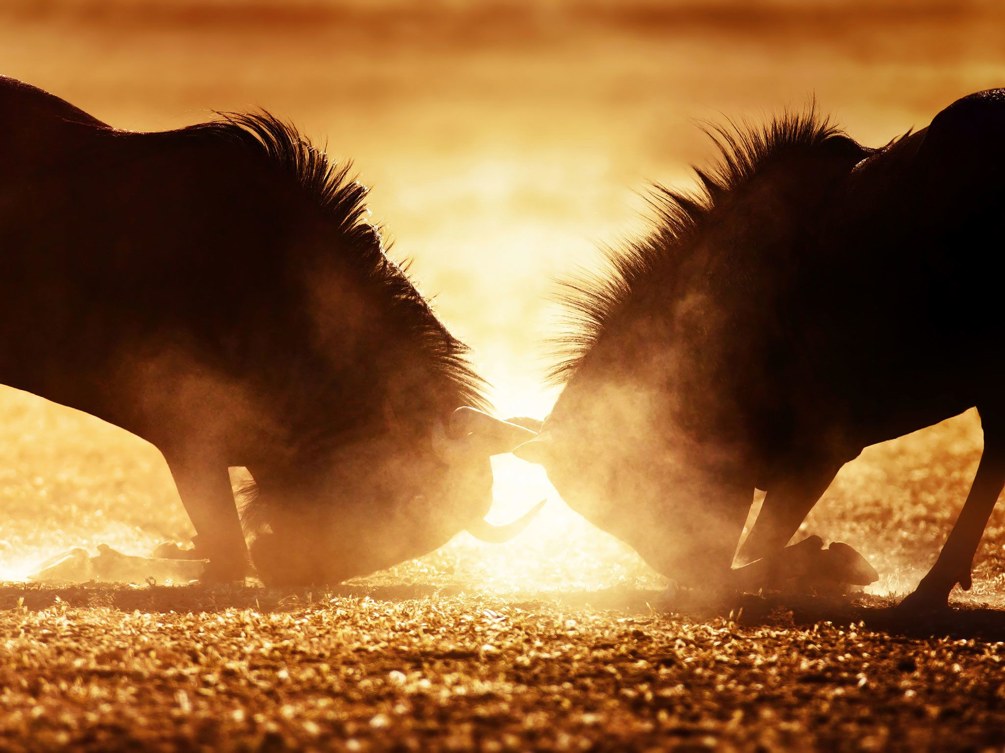 Blue wildebeest dual in dust. This image is from Animal Fight Club. [Photo of the day - May 2017]