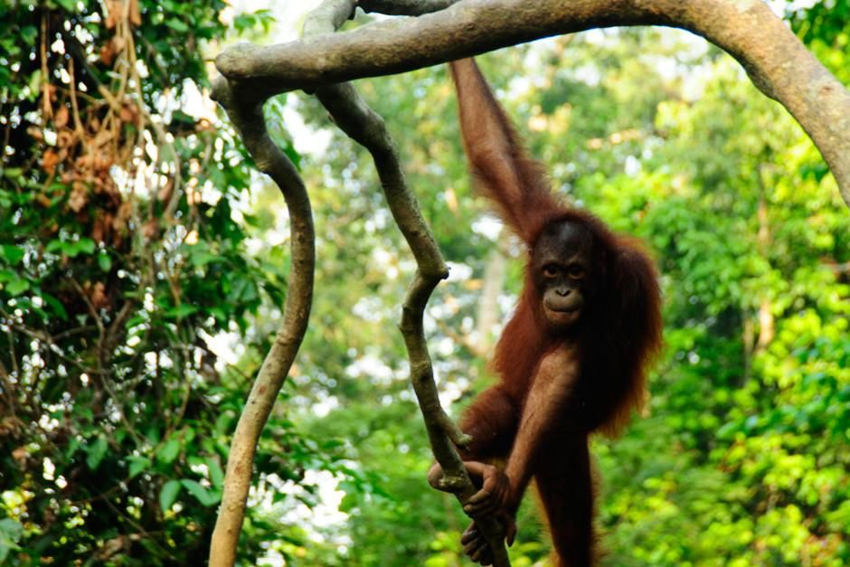 Borneo. Orangutani so edine opice in največji sesalci, ki živijo izključno na drevju. Prizor j... [Photo of the day - februar 2012]
