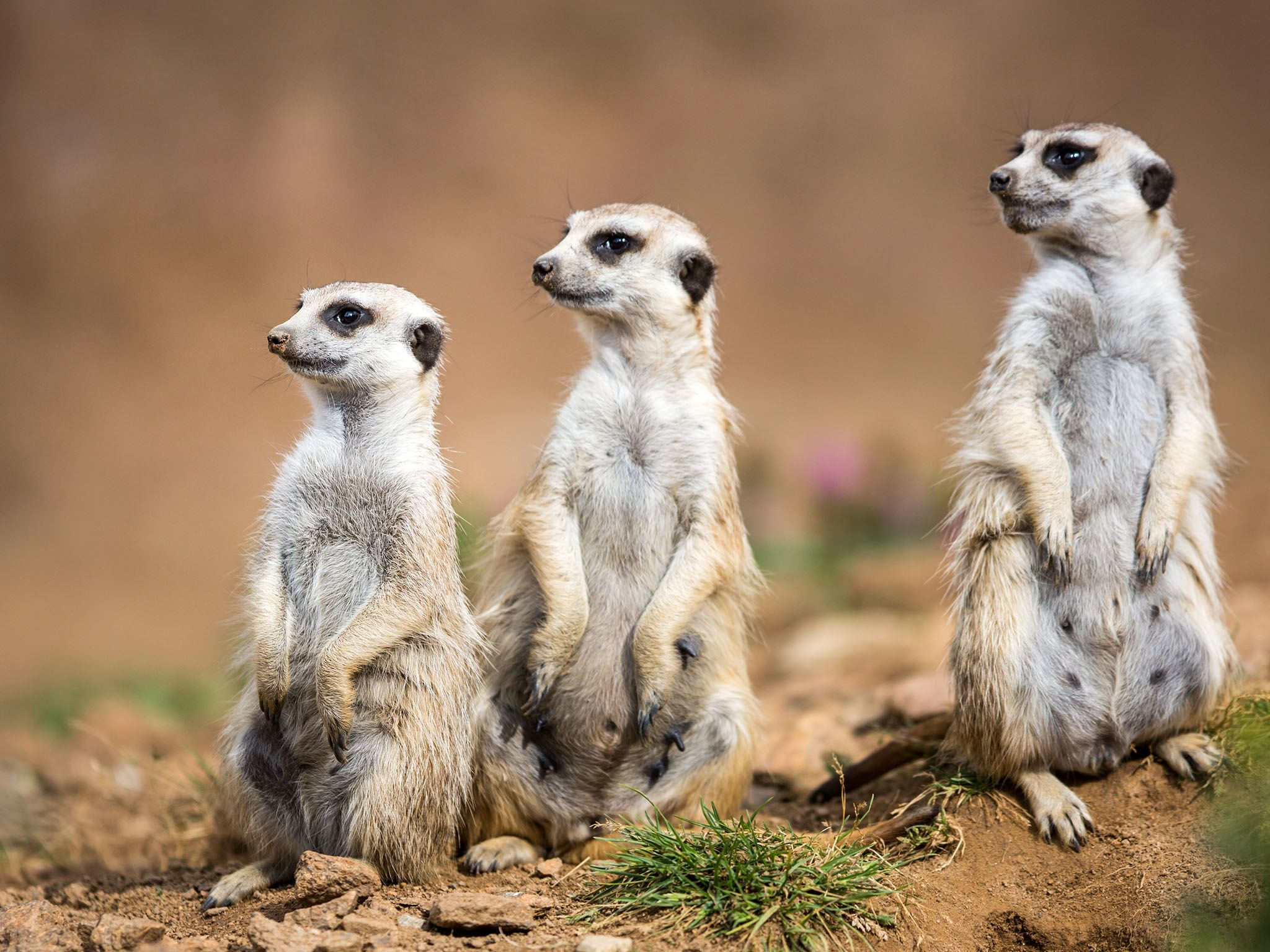 South Africa: Watchful meerkats standing guard. This image is from Survive The Wild. [Photo of the day - June 2017]