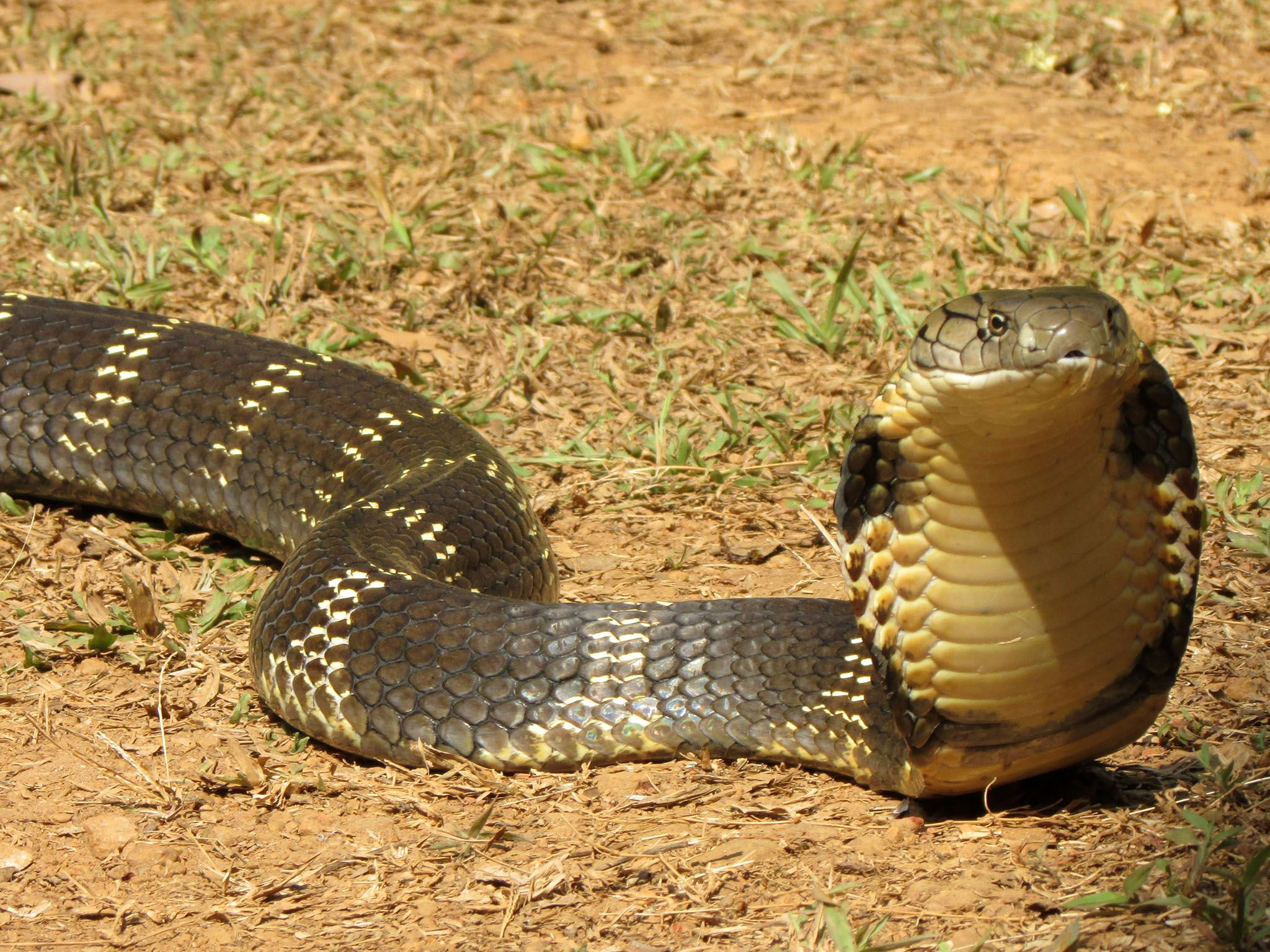 India: King cobra (Ophiophagus hannah) slithering on dry grass, raised head. This image is from... [Photo of the day - 六月 2017]