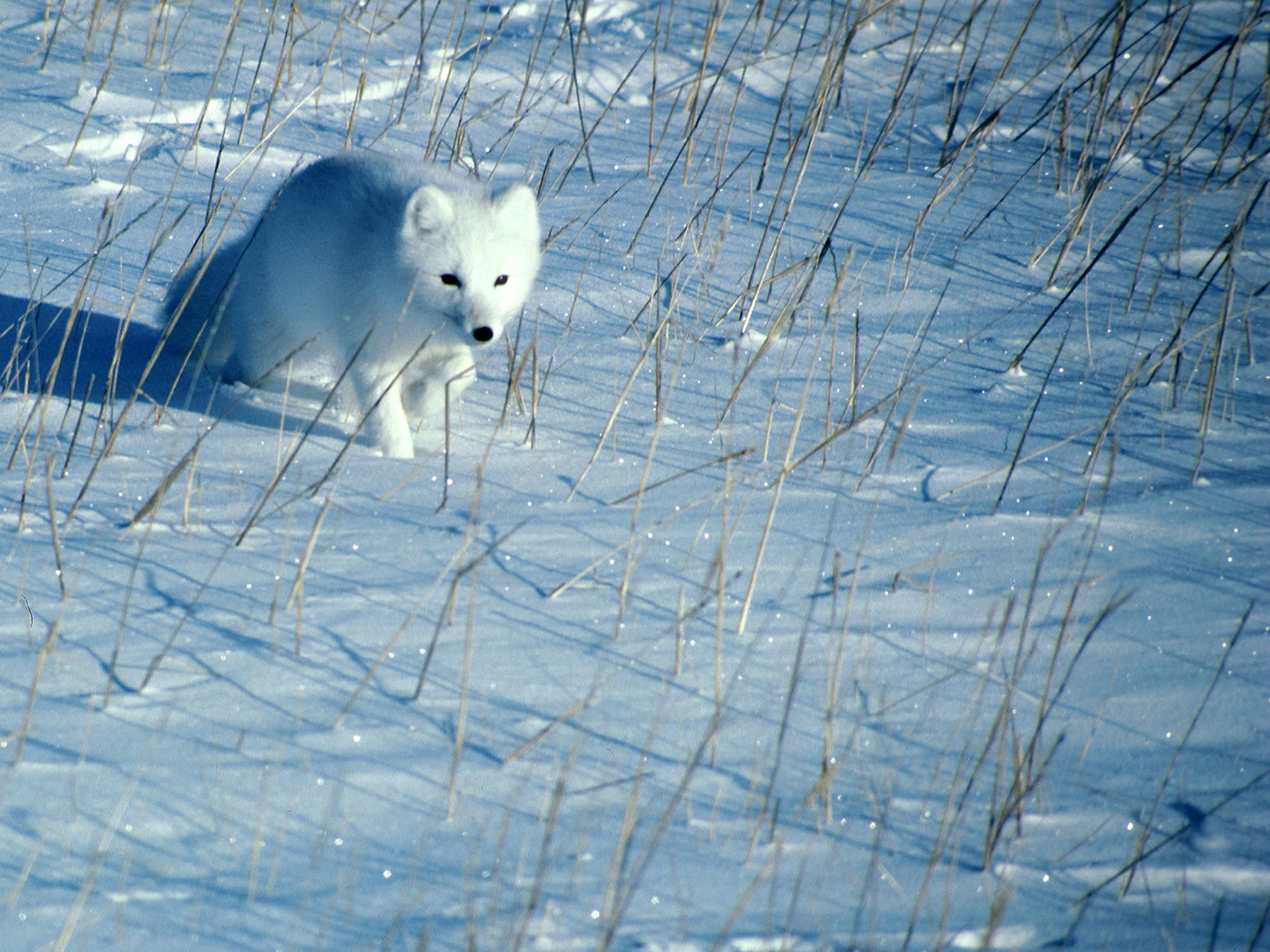 A polar fox runs across the snow. This image is from Planet Carnivore: Perfect Killers. [Photo of the day - 六月 2017]