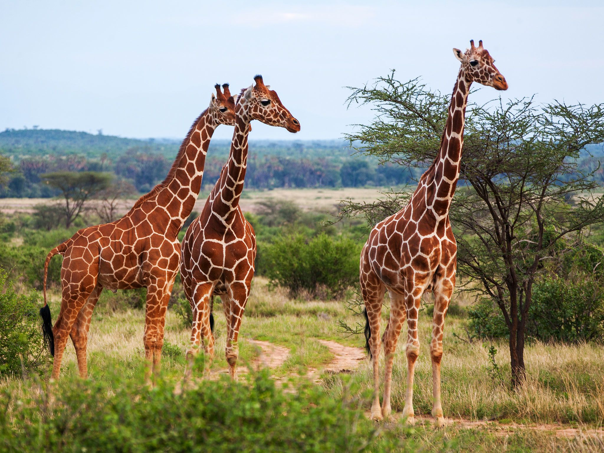 Kenya, Africa:  Small herd of giraffes in Kenya. This image is from Survive The Wild. [Photo of the day - June 2017]