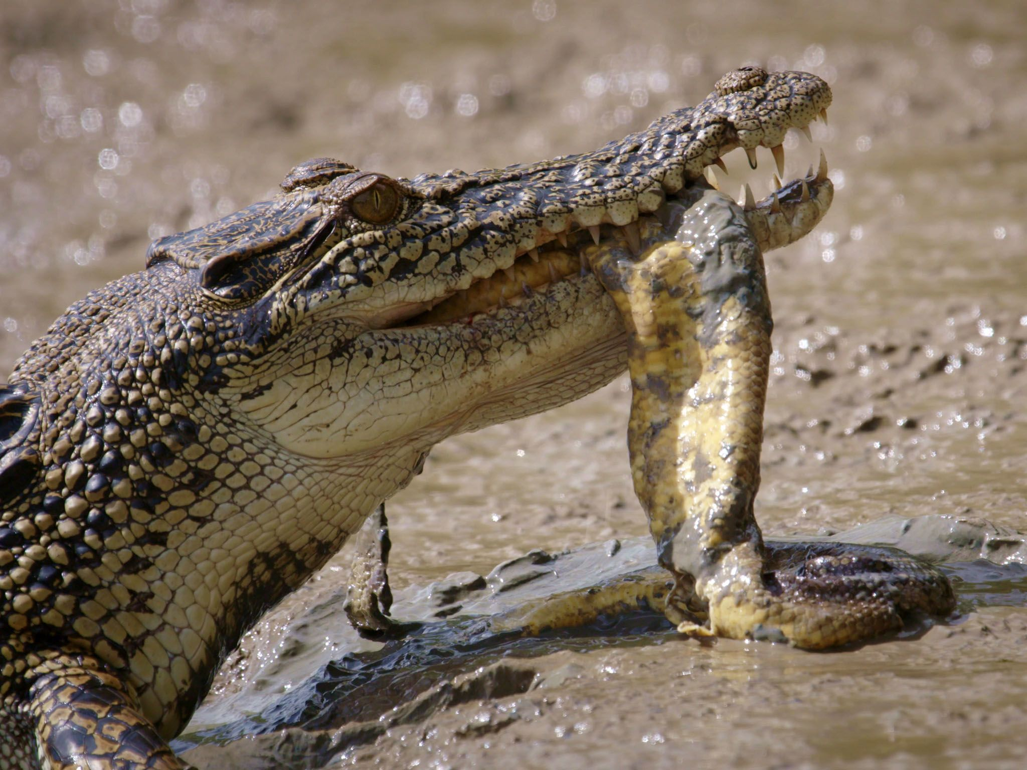 Saltwater Crocodile with dead snake in mouth. This image is from Boss Croc. [Photo of the day - 六月 2017]