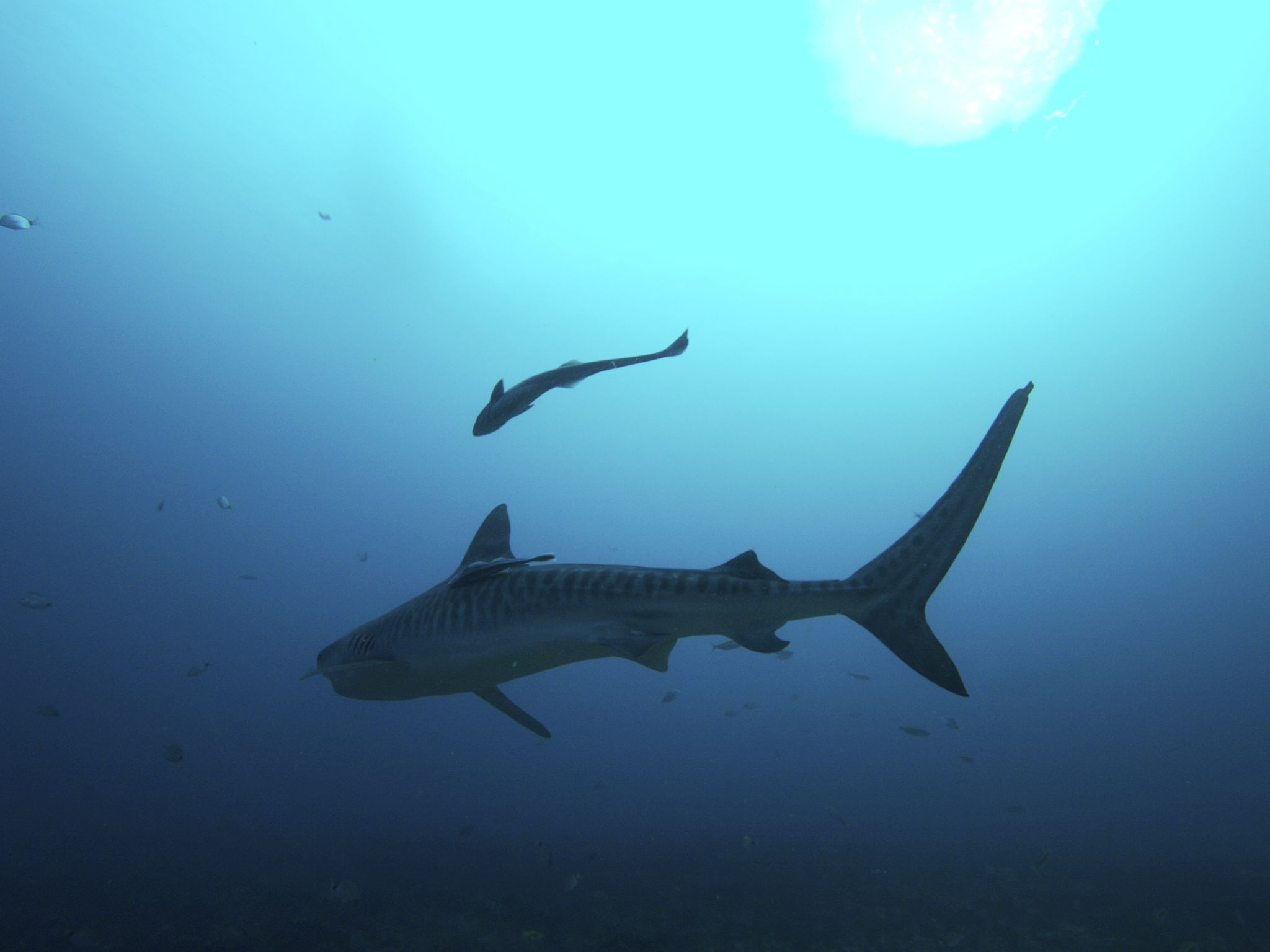 Tiger Shark. This image is from Planet Carnivore: Perfect Killers. [Photo of the day - 六月 2017]