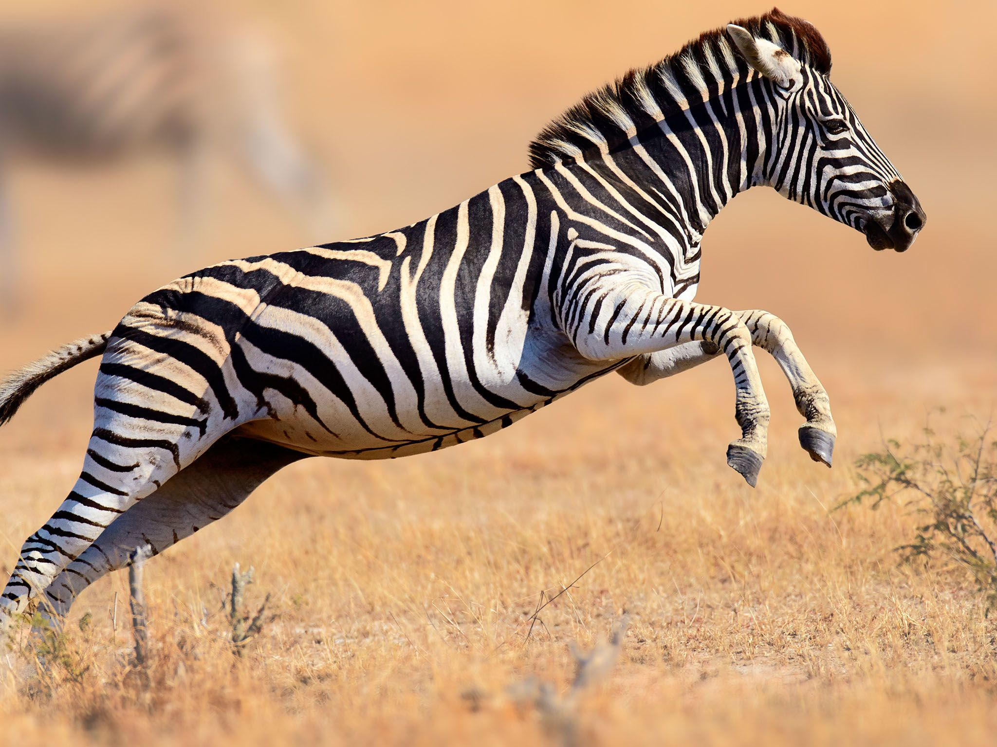 Zebra (Equus burchell's) running and jumping, Kruger National Park. This image is from Survive... [Photo of the day - 六月 2017]