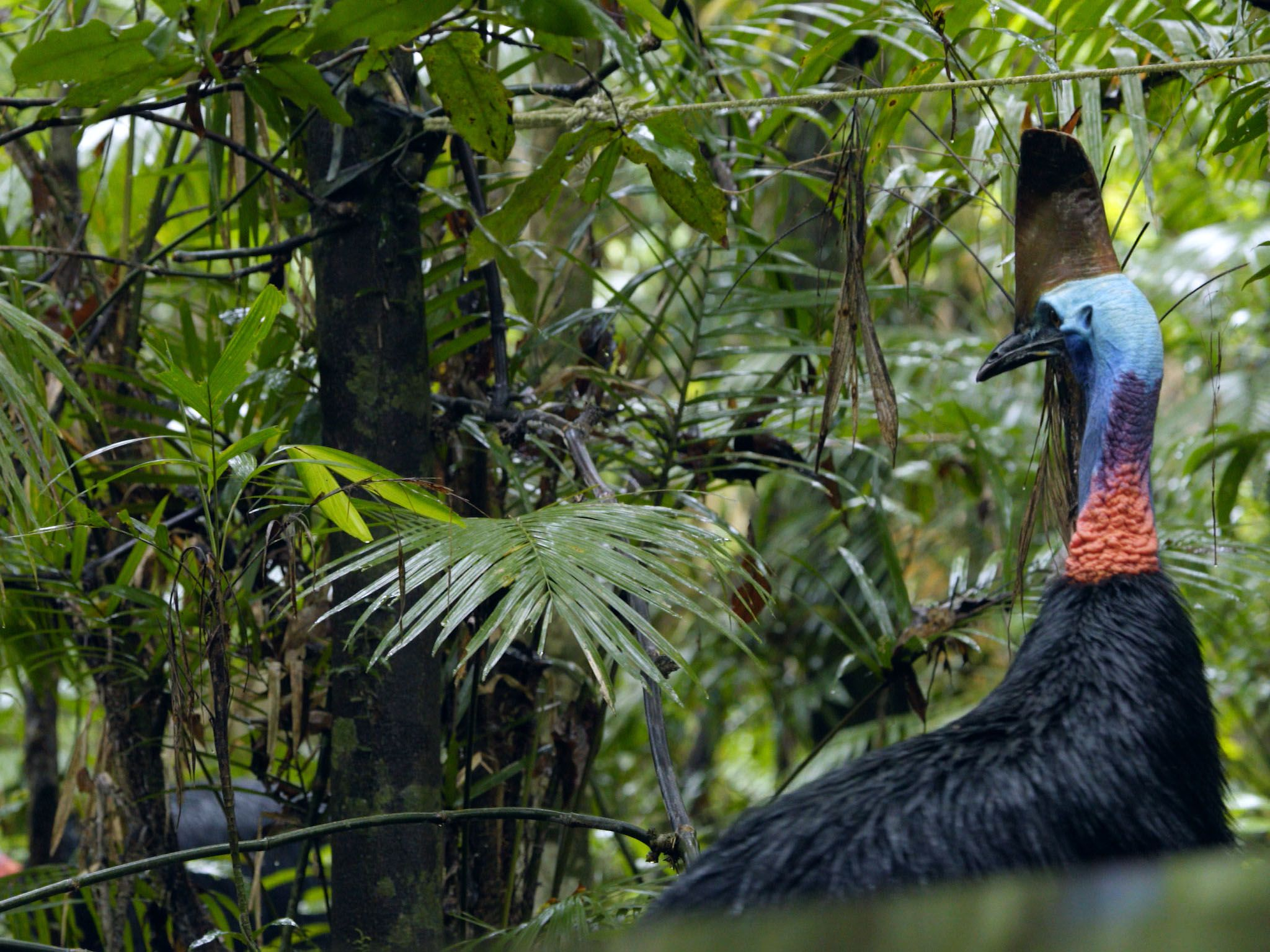 Queensland, Australia: Big Bertha in s confrontation with a male cassowary called Taiga, who can... [Photo of the day - 六月 2017]