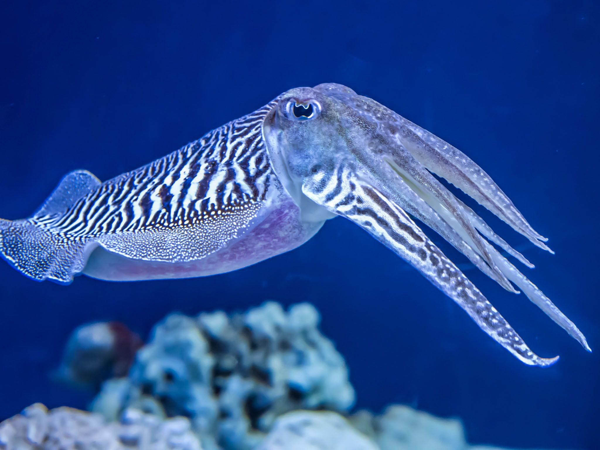 The Common (European) Cuttlefish is generally found in the eastern North Atlantic, the English... [Photo of the day - 六月 2017]