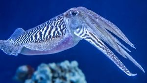 The Common (European) Cuttlefish is... [Dagens foto - 26 JUNI 2017]
