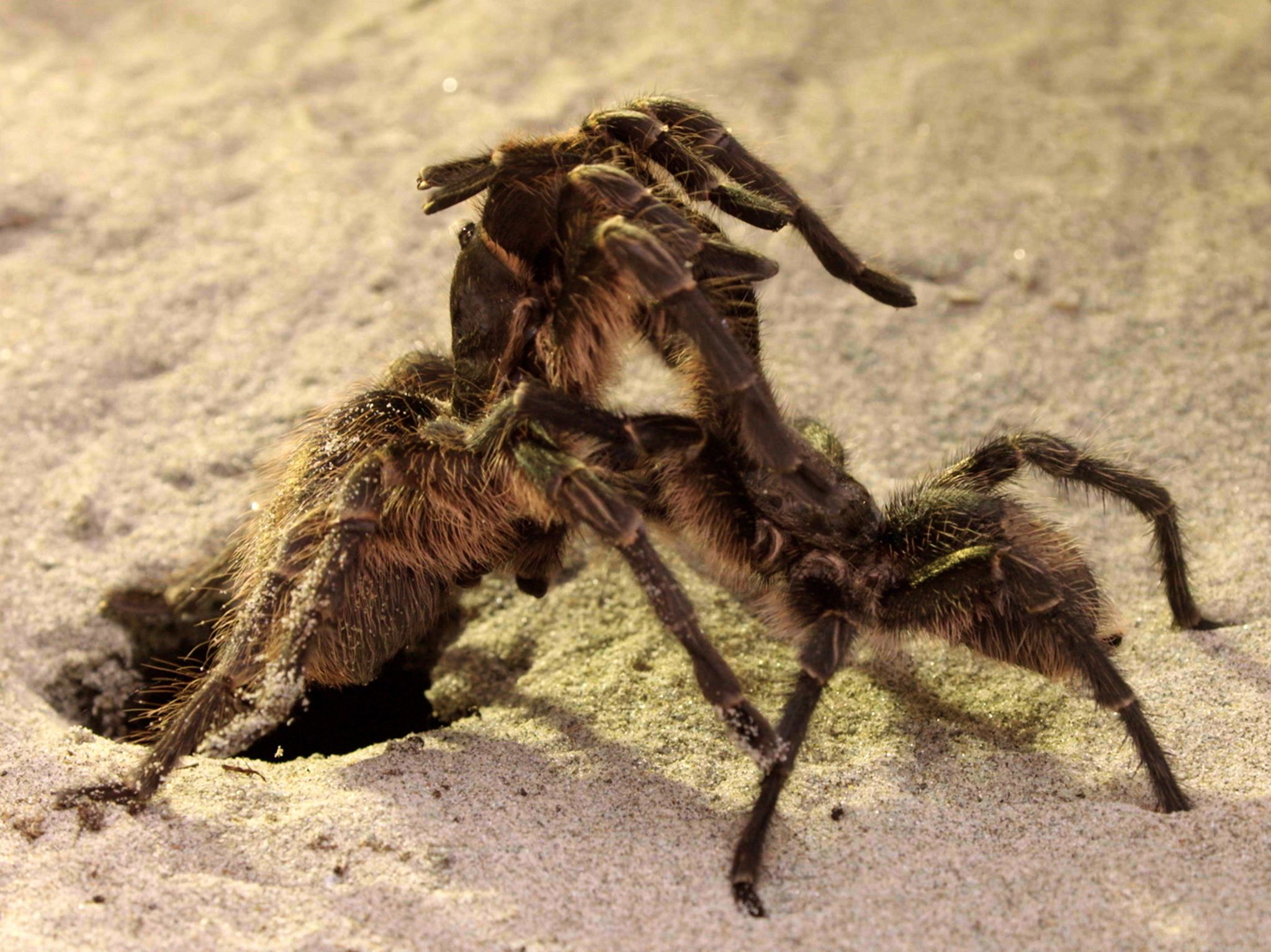 Argentina: Tarantula mating ritual. He strokes her legs gently but quickly in order to subdue... [Photo of the day - June 2017]