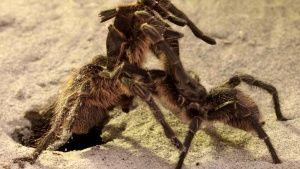 Argentina: Tarantula mating ritual.... [Photo of the day - 29 ژوئن 2017]