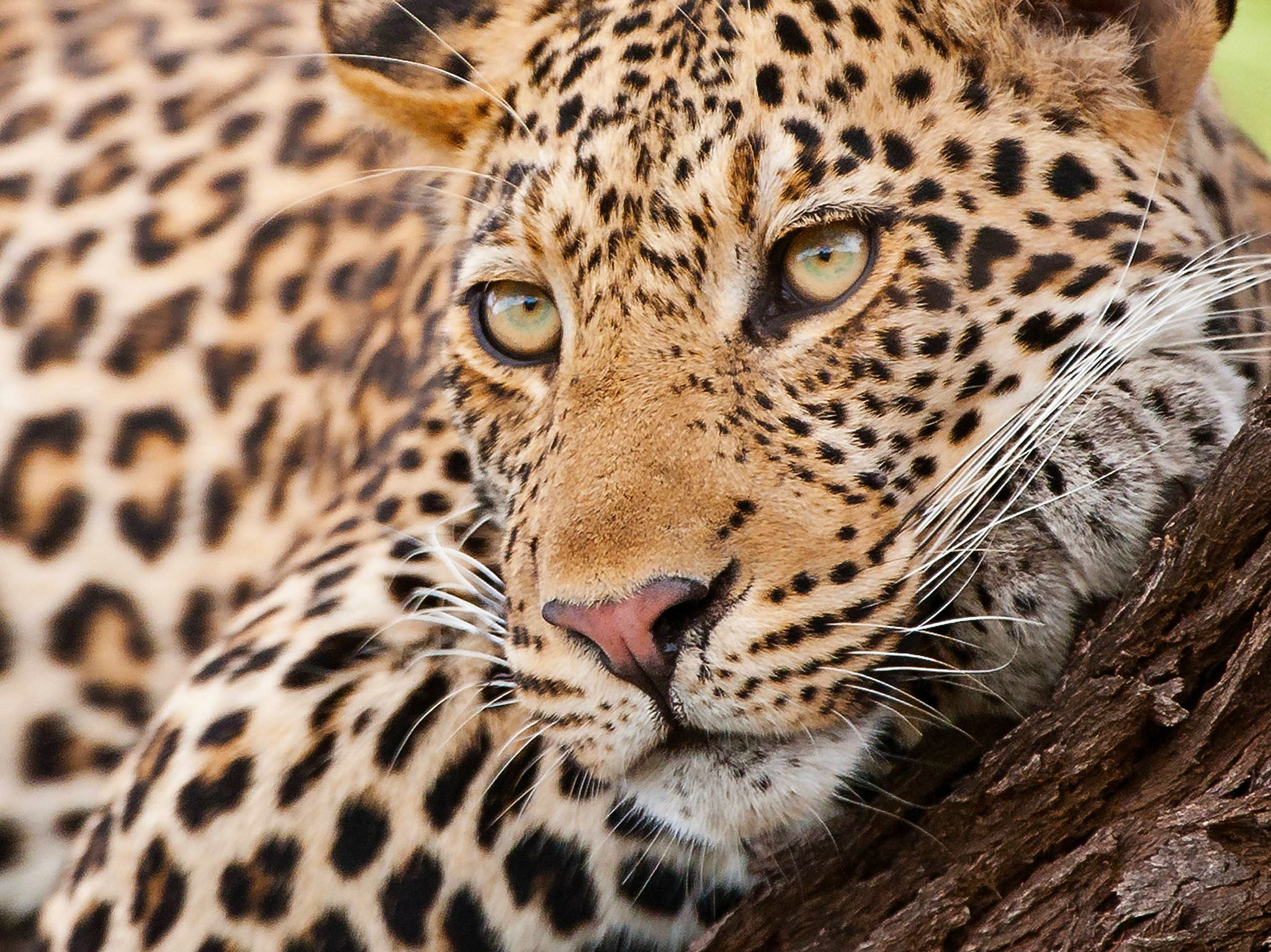 Mpumalanga, South Africa: Resting leopard at Mala Mala Game Reserve. This image is from Africa's... [Photo of the day - July 2017]