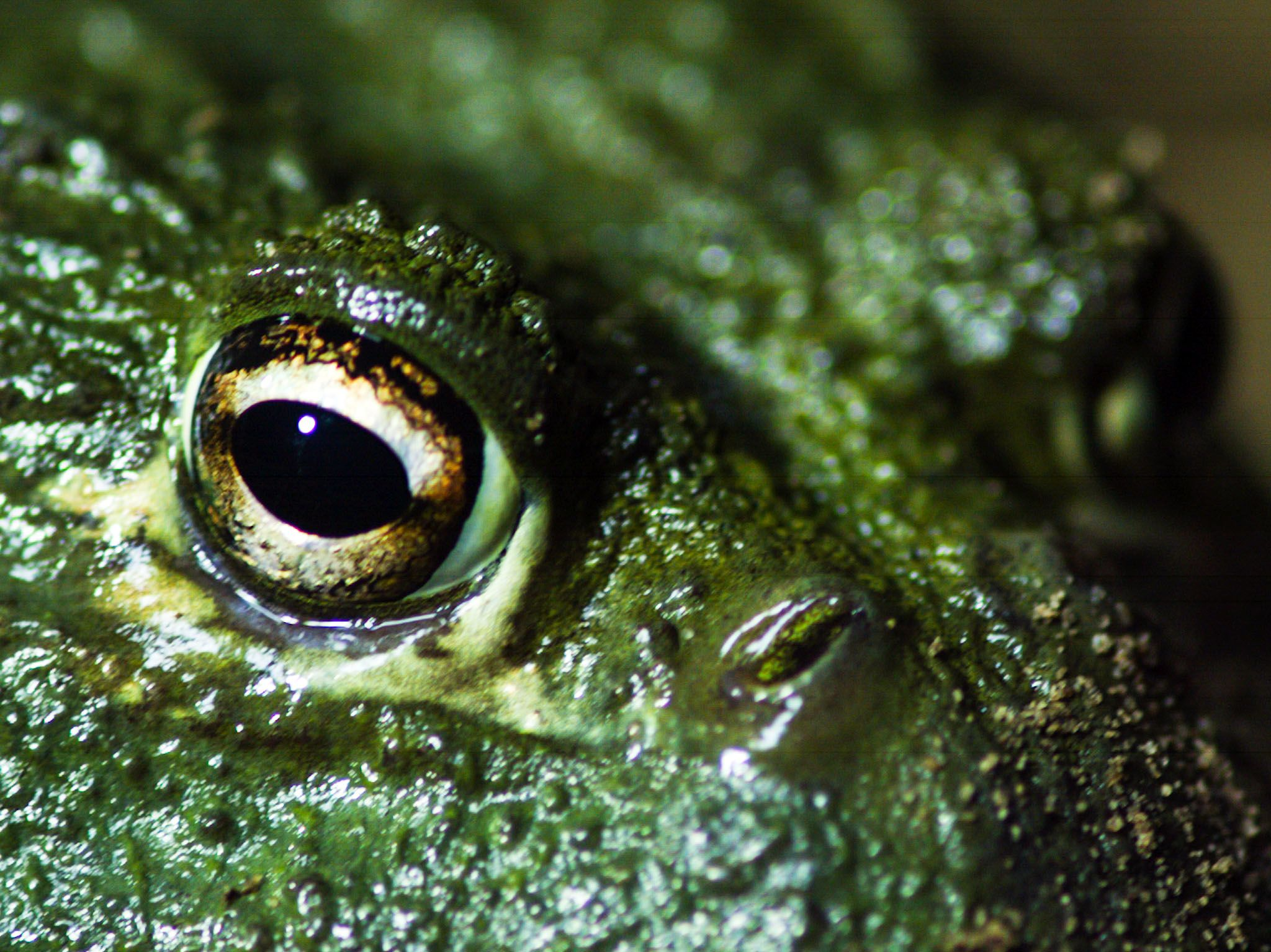South Africa: African bullfrog (Pyxicephalus adspersus) face, revealing it's large eyes. African... [Photo of the day - July 2017]
