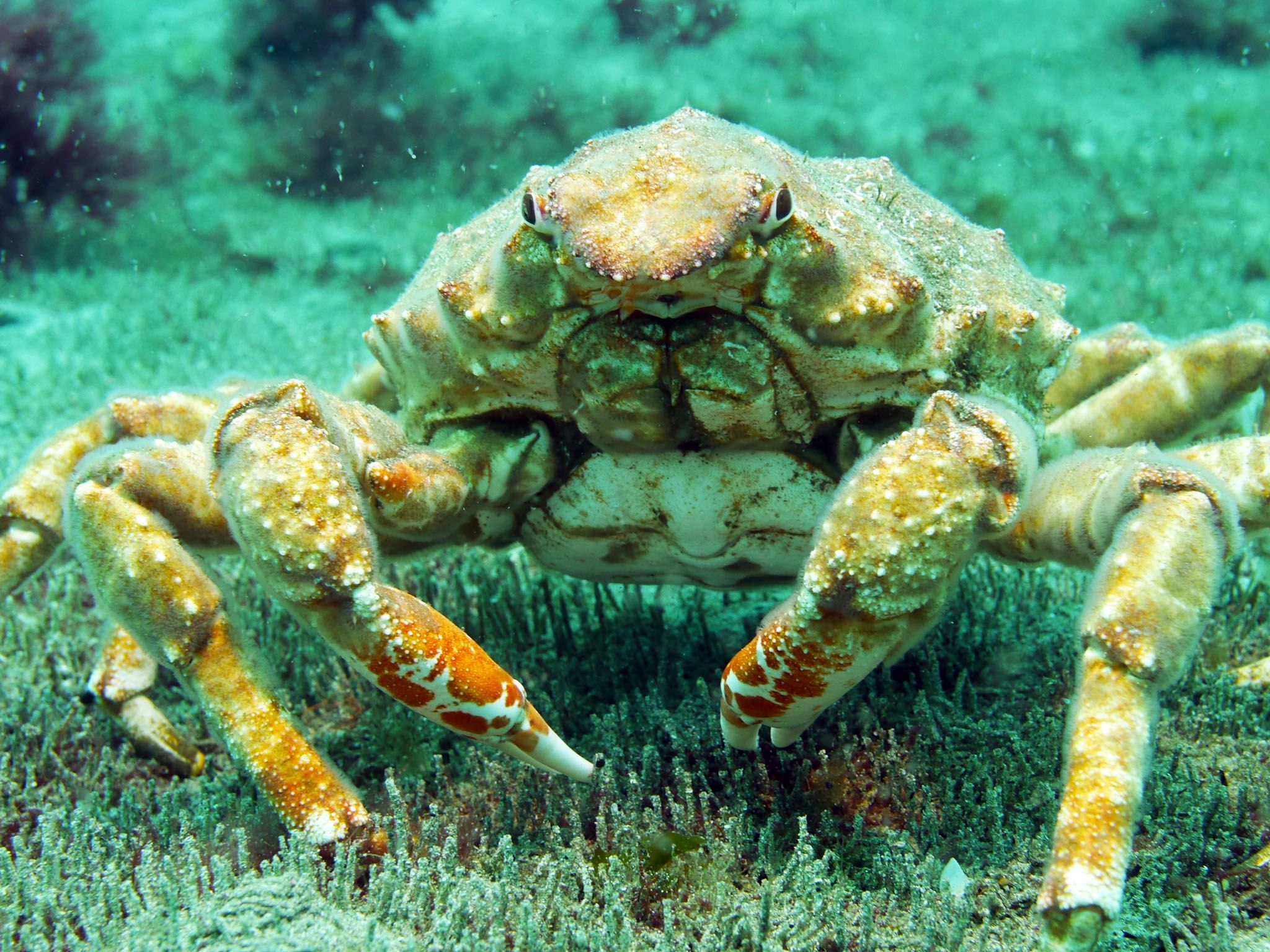 Auckland Islands, New Zealand: Female giant spider crab. This image is from Savage Island Giants. [Photo of the day - July 2017]