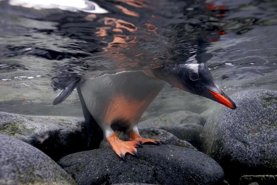 A gentoo penguin peeks beneath the water before taking the plunge in Port Lockroy. Antarctica. [Fotografija dneva - avgust 2011]