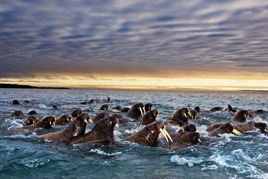 Pacific walruses travel according to the movement of the ice. As the ice expands in the winter, ... [Photo of the day - februari 2012]