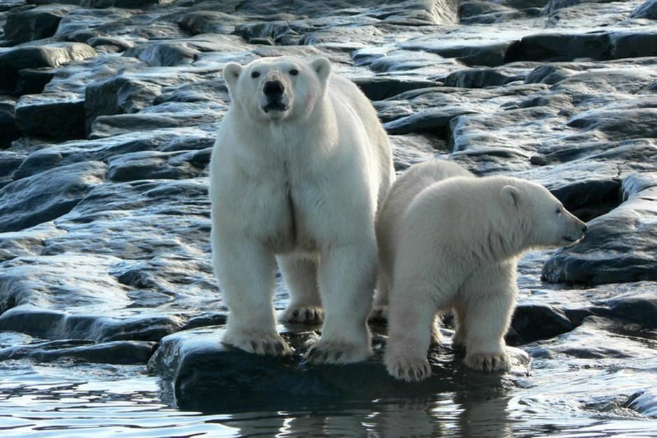 SCREEN GRAB: SIBERIA, EAST RUSSIA - The Russian Arctic is the home of the biggest polar bear popu... [Photo of the day - March 2012]