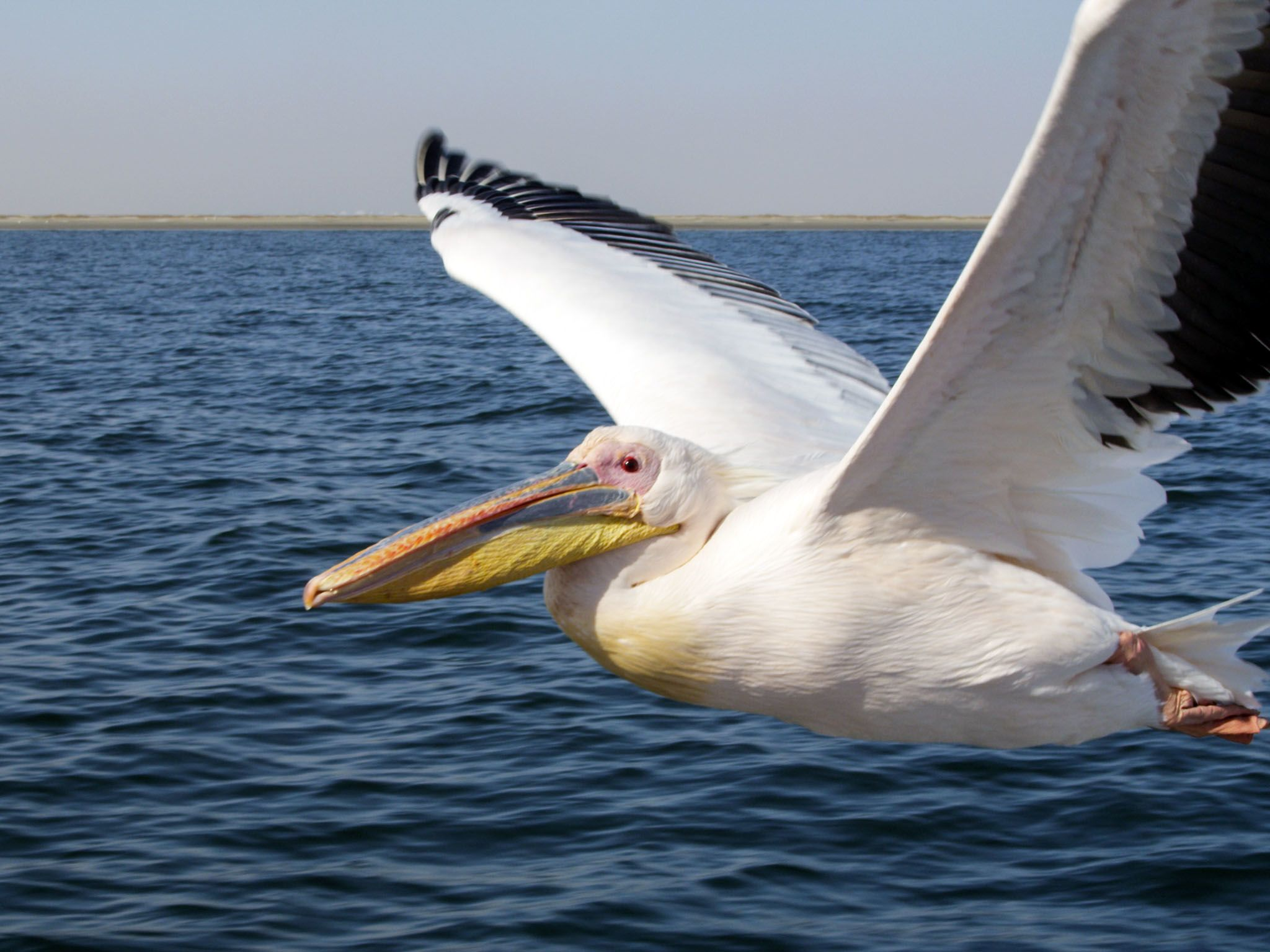 Namibia: Great white pelican (Pelecanus onocrotalus) flying. These enormous birds make use of... [Photo of the day - July 2017]
