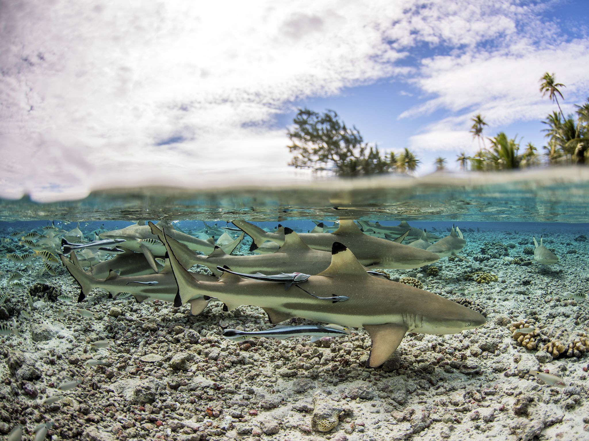 Fakarava, Tahiti: Black tip sharks in shallow water. This image is from Shark Swarm. [Photo of the day - 八月 2017]
