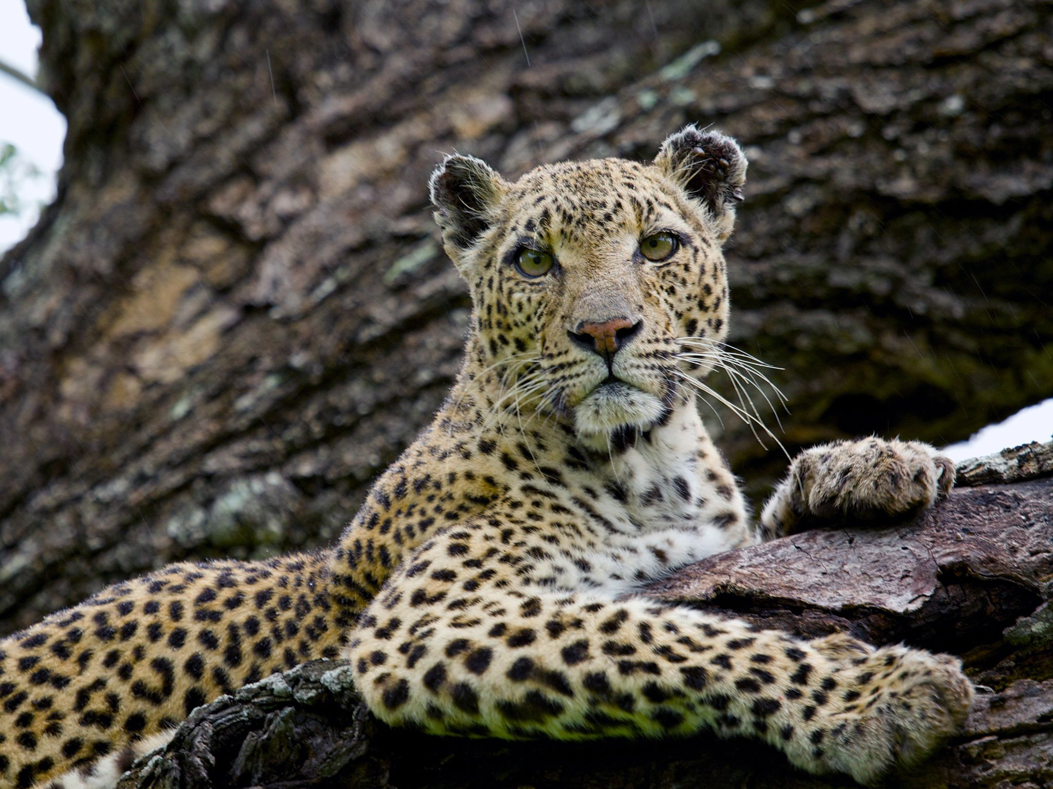 Londolozi Game Reserve, Moumalanga, South Africa: A leopard sits in a tree at South Africa's... [Photo of the day - August 2017]