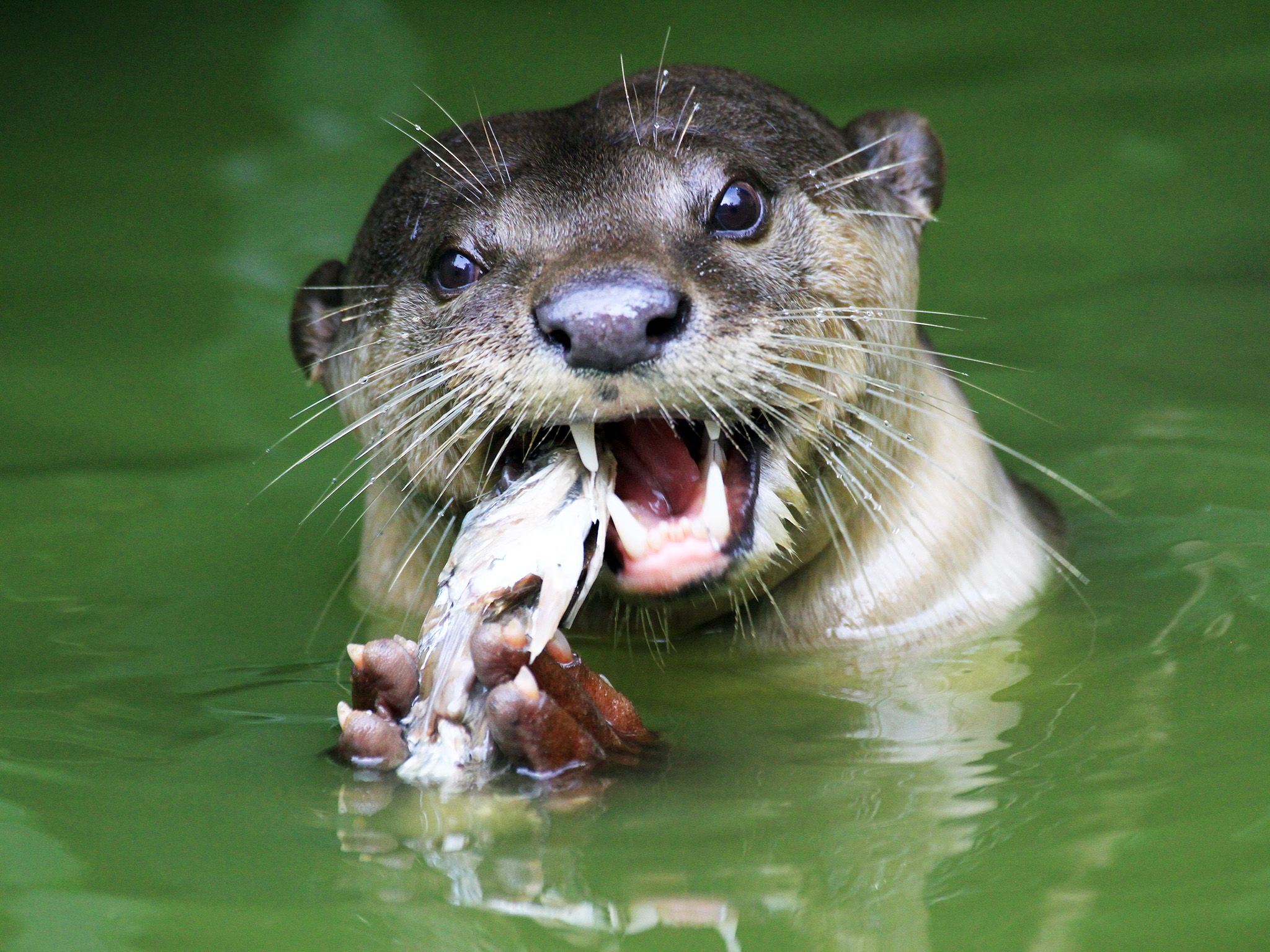 Borneo: Otter, facing camera, eating fish. This image is from Borneo's Secret Kingdom. [Photo of the day - 八月 2017]