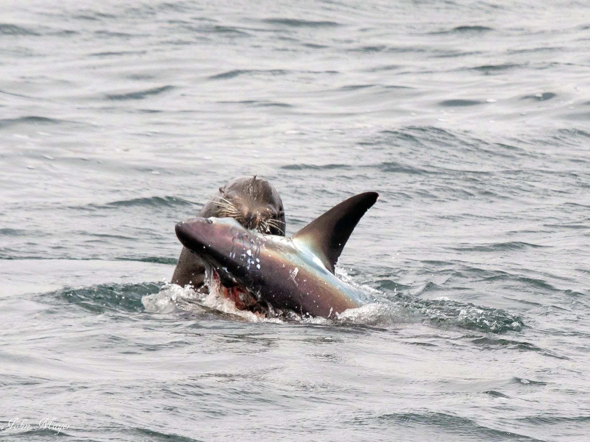 Newport Beach, CA: A sea lion attacks a thresher shark. This image is from Shark V. Predator. [Photo of the day - 八月 2017]