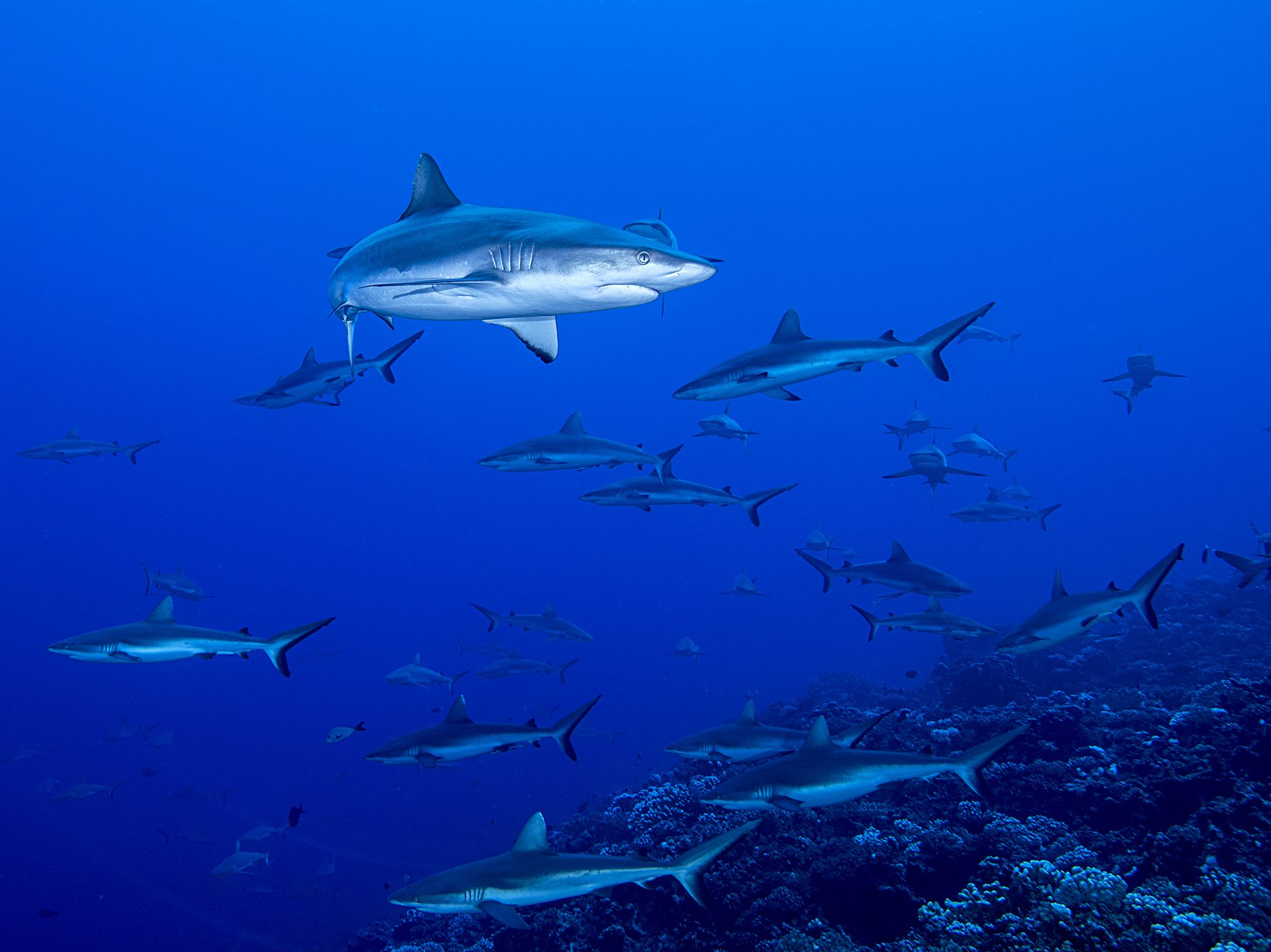 Fakarava, Tahiti:  Grey reef sharks swarm. This image is from Shark Swarm. [Photo of the day - August 2017]