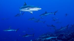Fakarava, Tahiti:  Grey reef sharks... [Photo of the day - 14 AUGUST 2017]