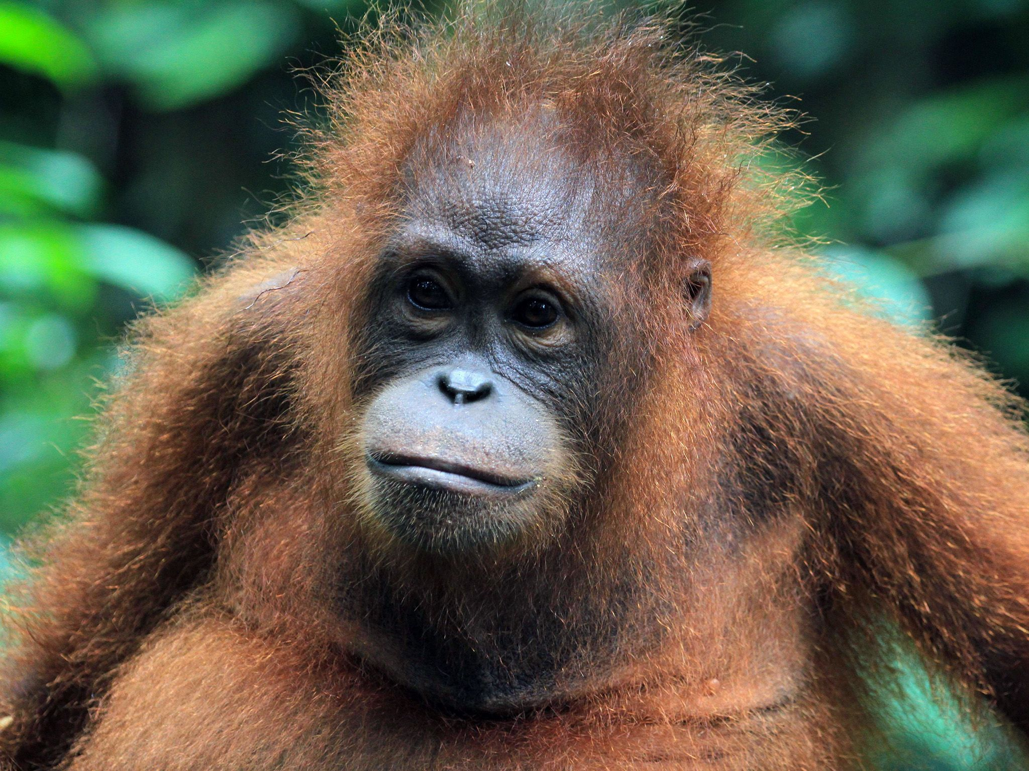 Malaysia:  Orangutan head and shoulders. This image is from Borneo's Secret Kingdom. [Photo of the day - August 2017]
