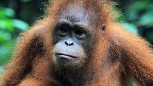 Malaysia:  Orangutan head and... [Photo of the day - 15 AUGUST 2017]