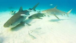 Bahamas:  Tiger sharks swim on the... [Dagens foto - 16 AUGUSTI 2017]