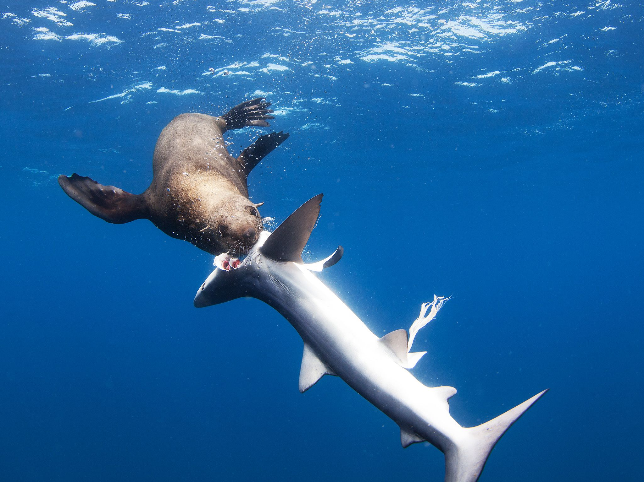 Newport Beach, CA:  A sea lion bites the head off a thresher shark, eyeball exposed.  This image... [Photo of the day - 八月 2017]