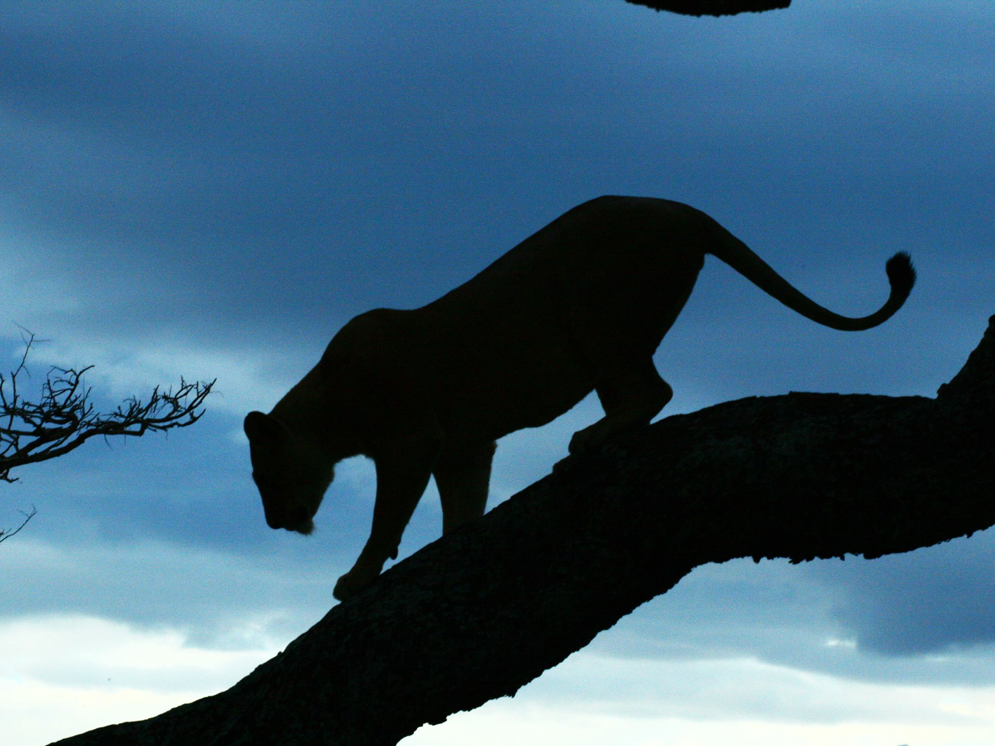 Lioness climbs down from tree as night sets in. This image is from Kings of the Kill. [Photo of the day - August 2017]