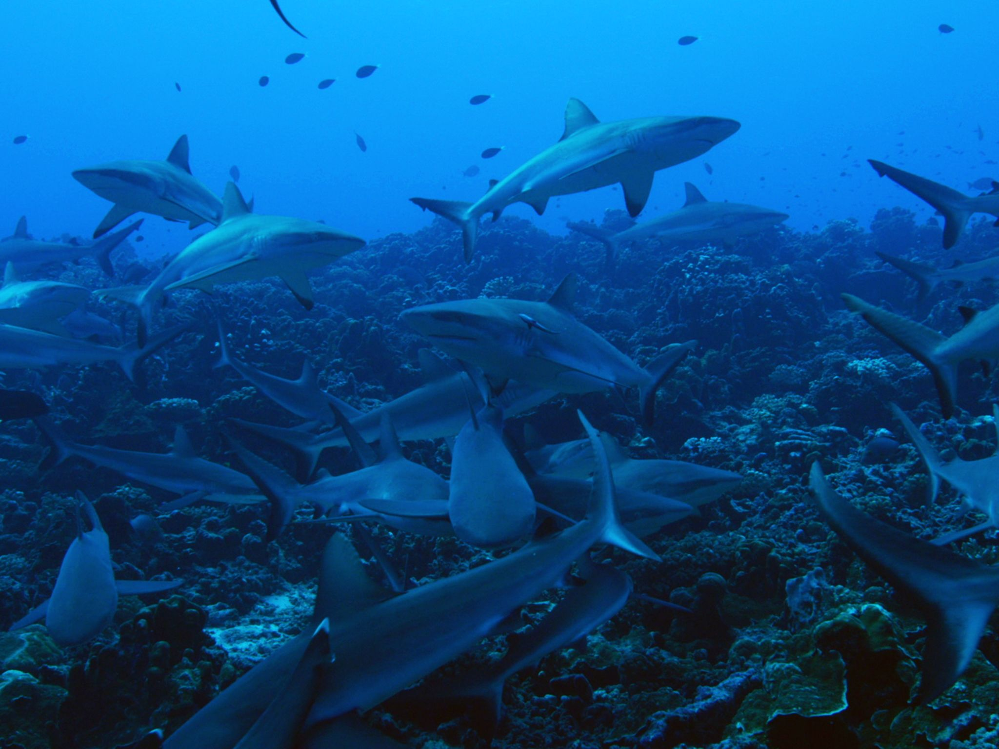 Tahiti:  Swarm of Gray Reef Sharks. This image is from Shark Swarm. [Photo of the day - August 2017]