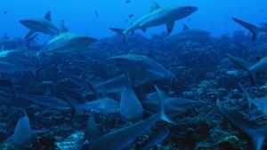 Tahiti:  Swarm of Gray Reef Sharks. This image is from Shark Swarm. Foto del giorno - 21 agosto 2017