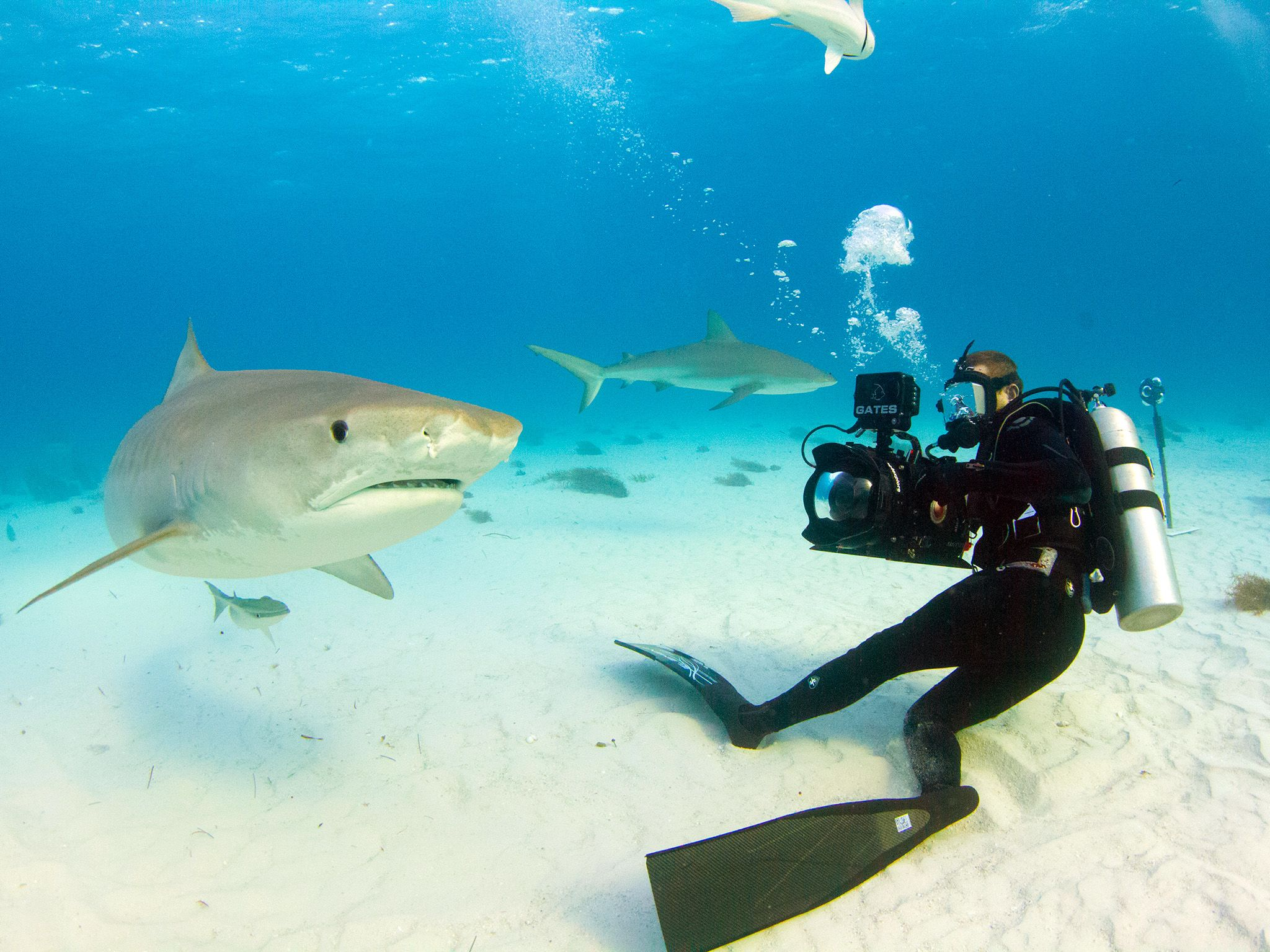 Bahamas:  A tiger shark swims by cameraman Andy Casagrande. This image is from Tiger Shark Terror. [Photo of the day - August 2017]