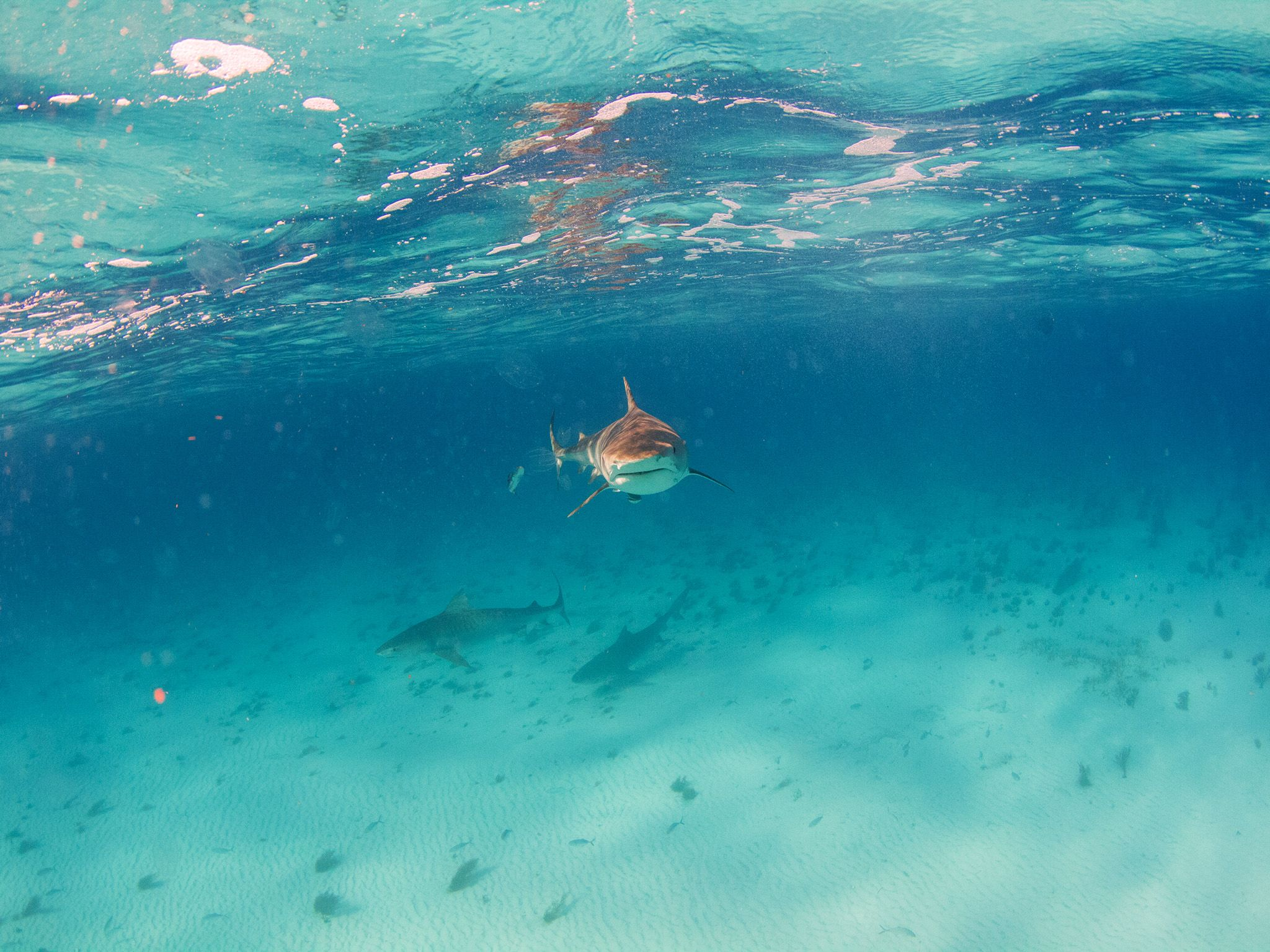 Bahamas:  A tiger shark approaches the camera. This image is from Tiger Shark Terror. [Photo of the day - August 2017]