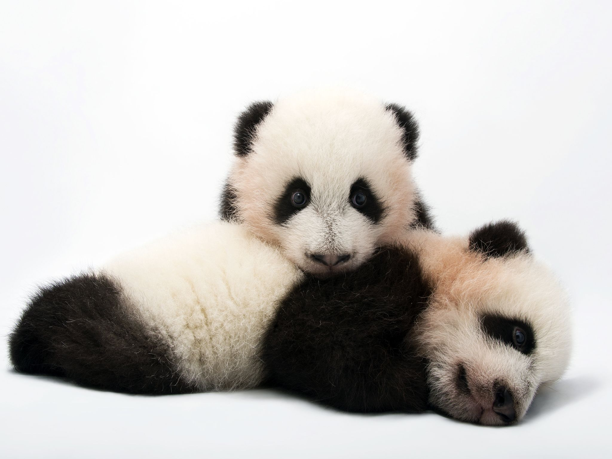 Atlanta, GA:  Mei Lun and Mei Huan, twin giant panda cubs, Ailuropoda melanoleuca, at Zoo... [Photo of the day - September 2017]