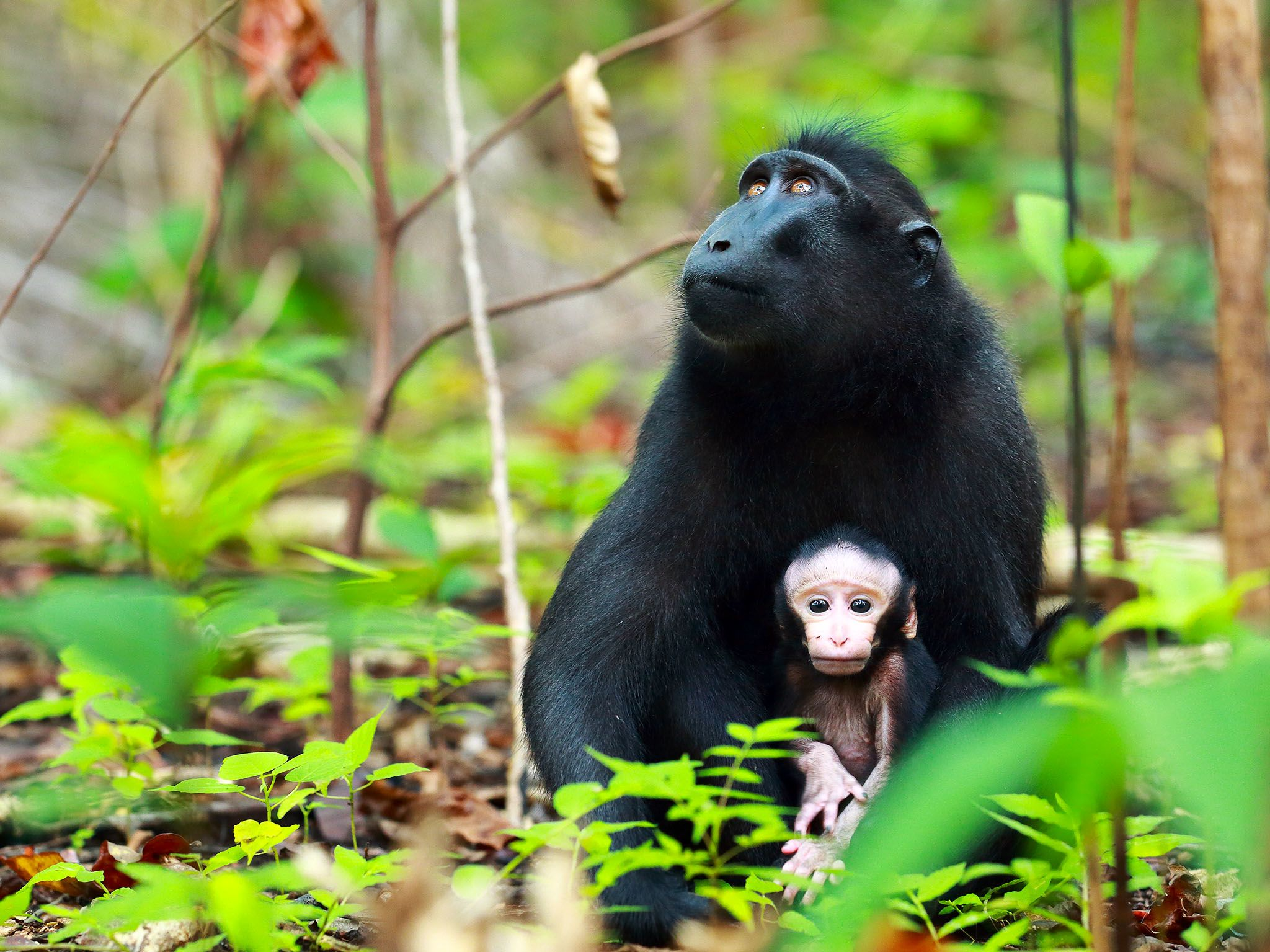 Indonesia:  Crested Macaque and baby. The birth of the usually single offspring happens in the... [Photo of the day - September 2017]