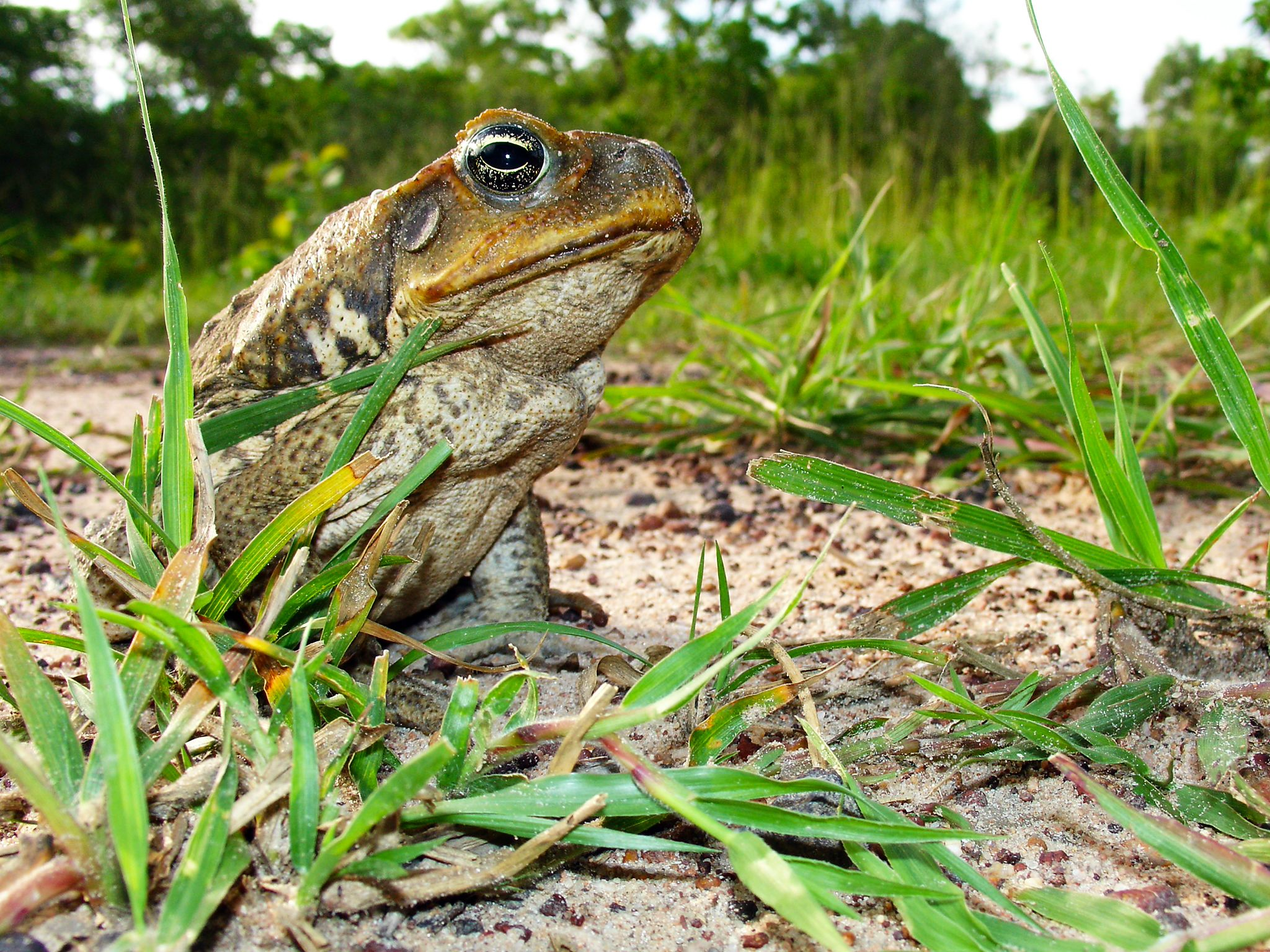 Cane Toad. This image is from Man V. Animal. [Photo of the day - September 2017]