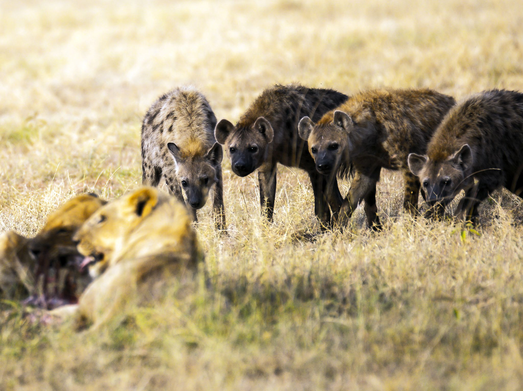 Kenya:  On the savannah, hyenas and lions are arch rivals. This image is from Inside The Pack. [Photo of the day - September 2017]