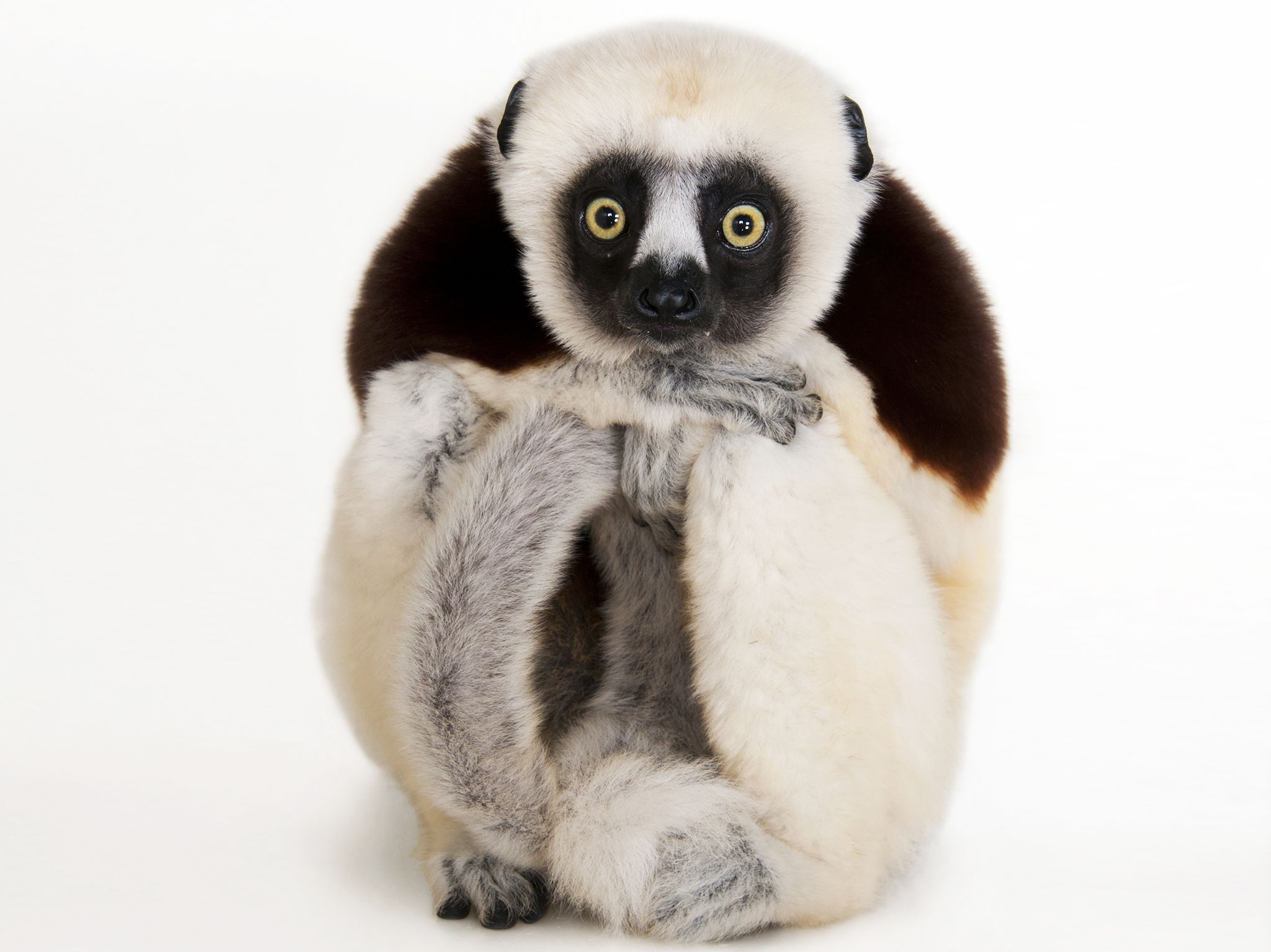 Houston, TX:  A Coquerel's sifaka, Propithecus coquereli, at the Houston Zoo.... [Photo of the day - September 2017]