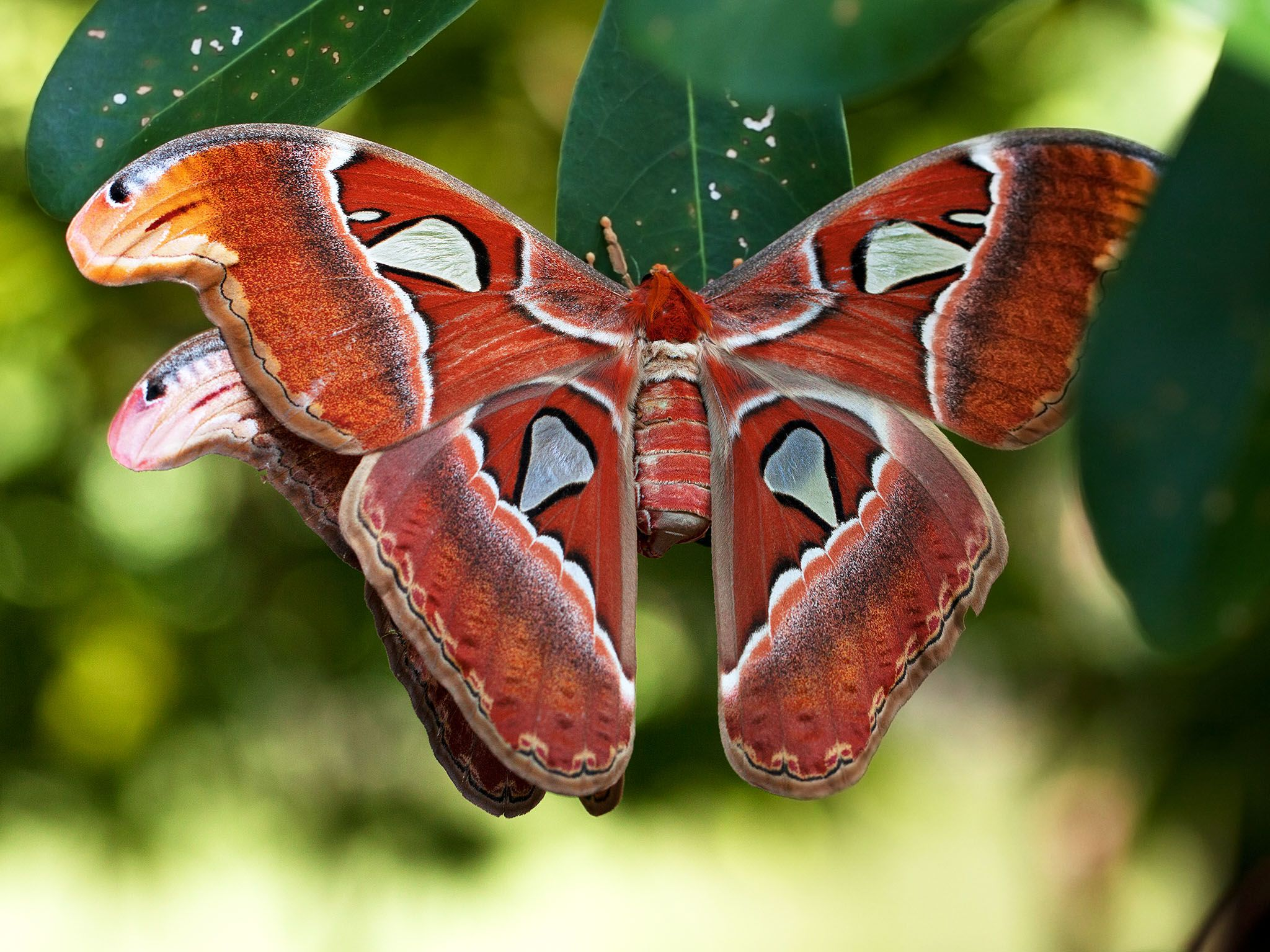 Brunei: Hercules Moths, mating. This image is from Paradise Islands. [Photo of the day - September 2017]