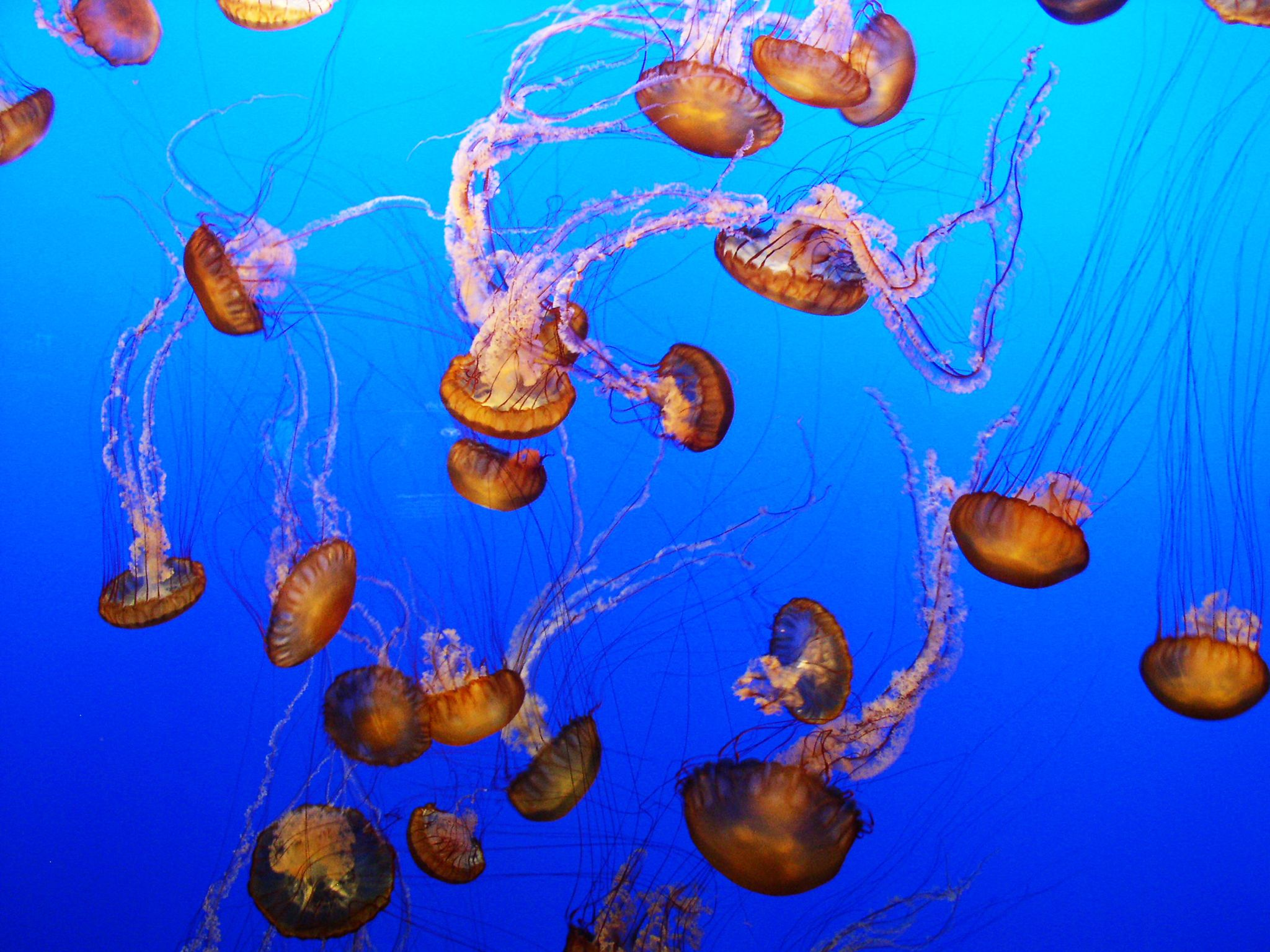 Chrysaora jellyfish swarm. This image is from Man V. Animal. [Photo of the day - September 2017]