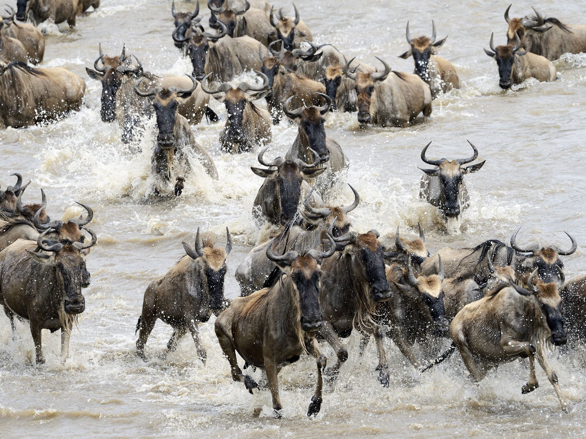 Tanzania:  Wildebeest migration in Serengeti National Park. This image is from Inside The Pack. [Photo of the day - September 2017]